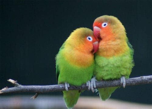how to train a lovebird to come to you